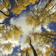Aspens in Santa Fe Mountains, aspens in Fall, New Mexico Landscapes, blue sky. Nature photography.