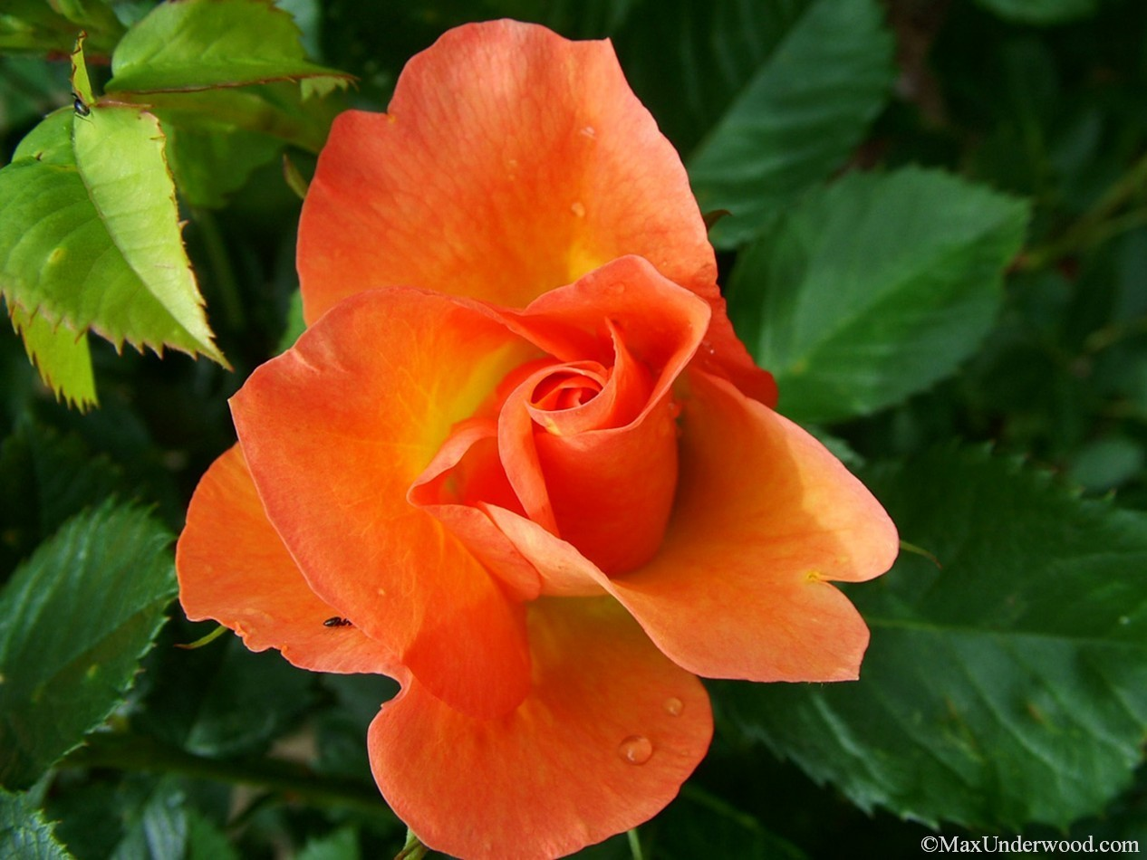 Orange rose closeup portraits surrounded by green leaves, dew drops, nature photography,