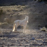 White wild horse, New Mexico, Southwest landscapes. Wildlife photography.
