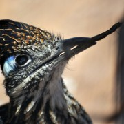 Road runner with stick in beak, Edgewood, New Mexico.Wildlife portraits.