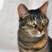 Tabby tortoise shell cat with green eyes, studio portrait, Santa Fe, NM.