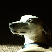Tan Whippet portrait in sunlight, dog, pet photography, Santa Fe, NM.