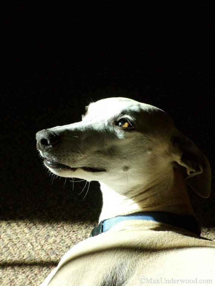 Tan Whippet portrait in sunlight, dog, pet photography, Santa Fe, NM.