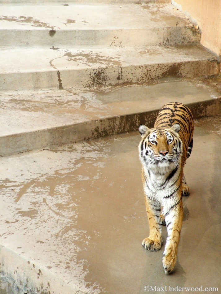 Bengal Tiger portrait on wet steps at Albuquerque Zoo, NM. Animal photography.