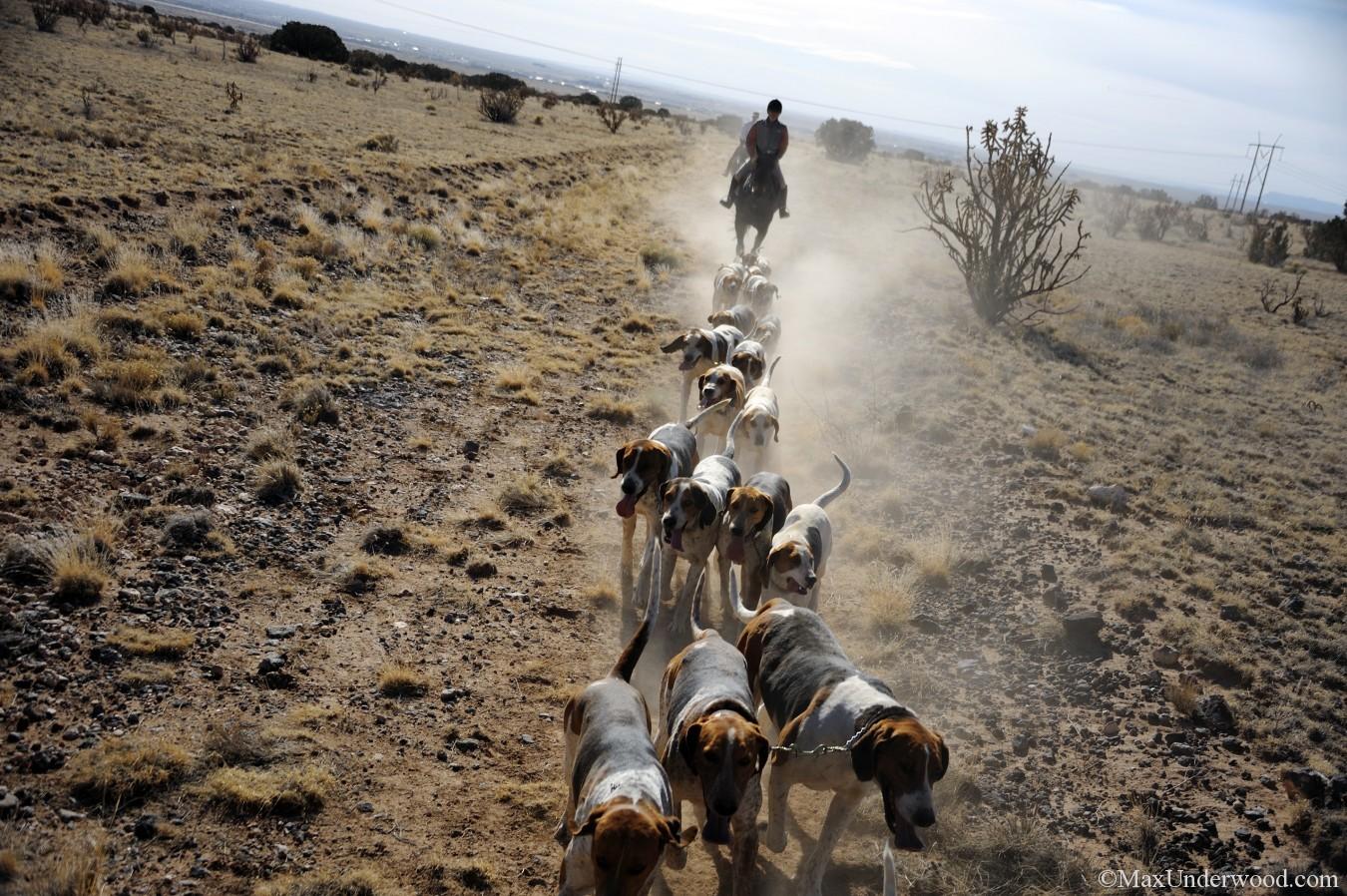 Caza Ladron Fox Hunt, cubbing run. Fox hounds and horses running, Santa Fe, NM.