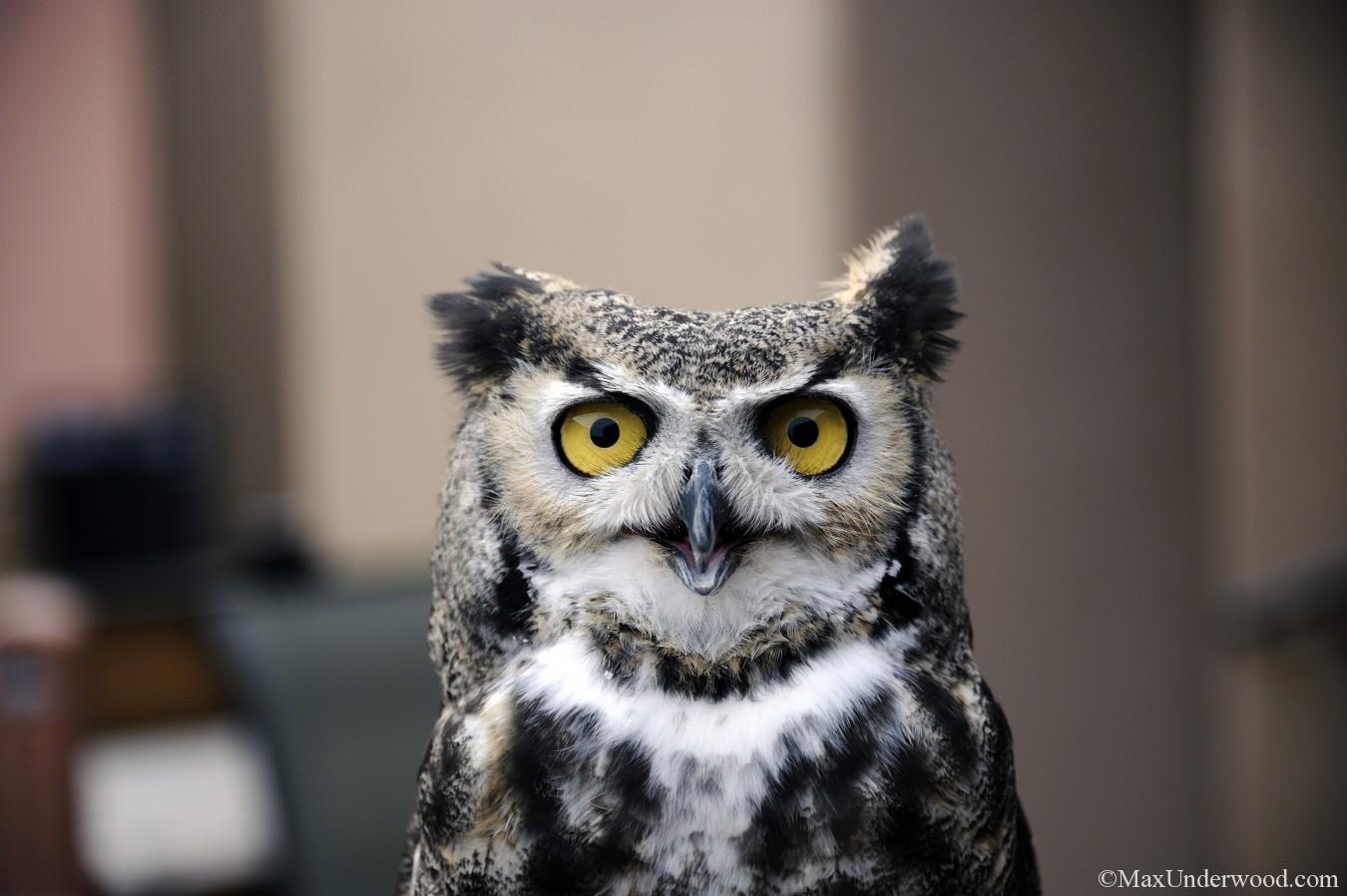 Great horned Owl portrait, Santa Fe, NM, the Wildlife Center