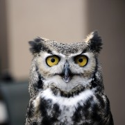 Great horned Owl portrait, Santa Fe, NM, the Wildlife Center