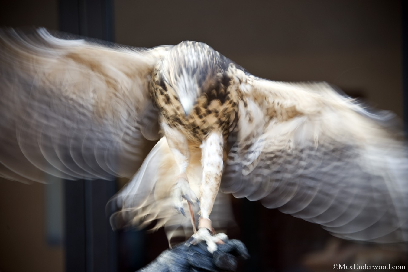 Hawk, Osprey, New Mexico. Abstract image, Animal photography. Santa Fe Raptor Center