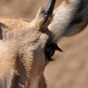 Pronghorn animal portrait, eye closeup, NM