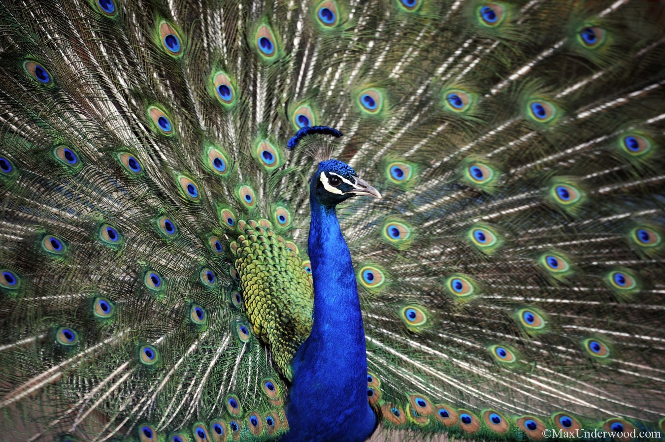 Peacock, plumage, colorful feathers, animals, birds, floral. New Mexico.
