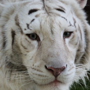 White Tiger, Animal Portraits, Tiger Face