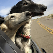 Borzoi, Russian Wolfhounds, Dogs, white and grey borzoi, dogs in car